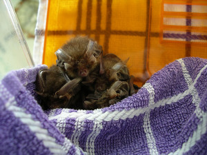 Bats in care